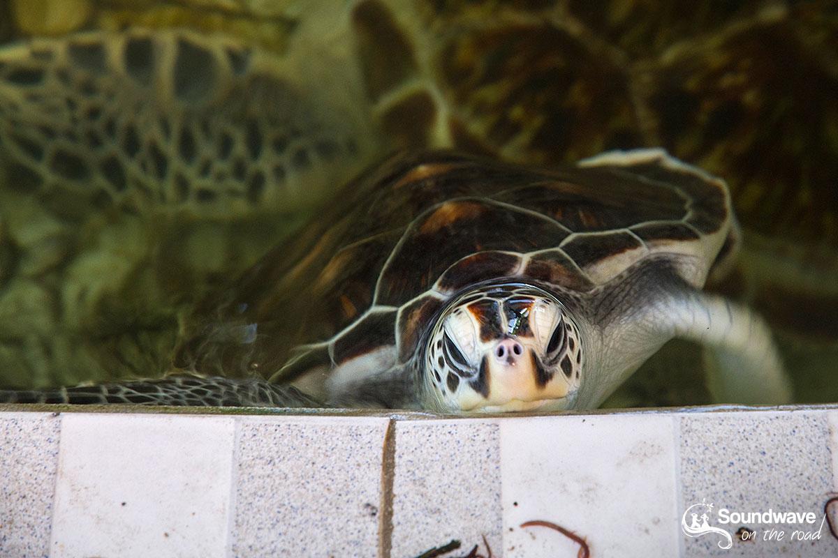 Volontariat avec les tortues à Bali