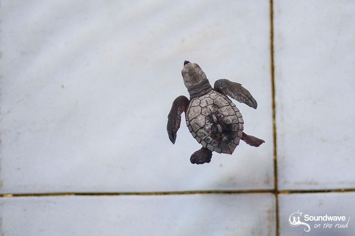 Bébé tortue au centre de conservation des tortues TCEC à Bali