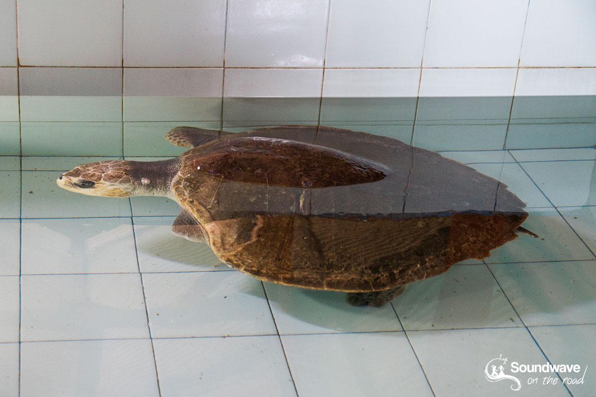 Le TCEC de Bali apporte les soins nécéssaires aux tortues bléssées