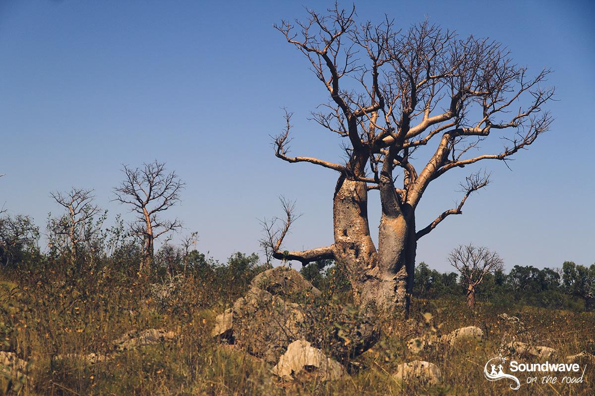 Boab Tree in the Kimberleys
