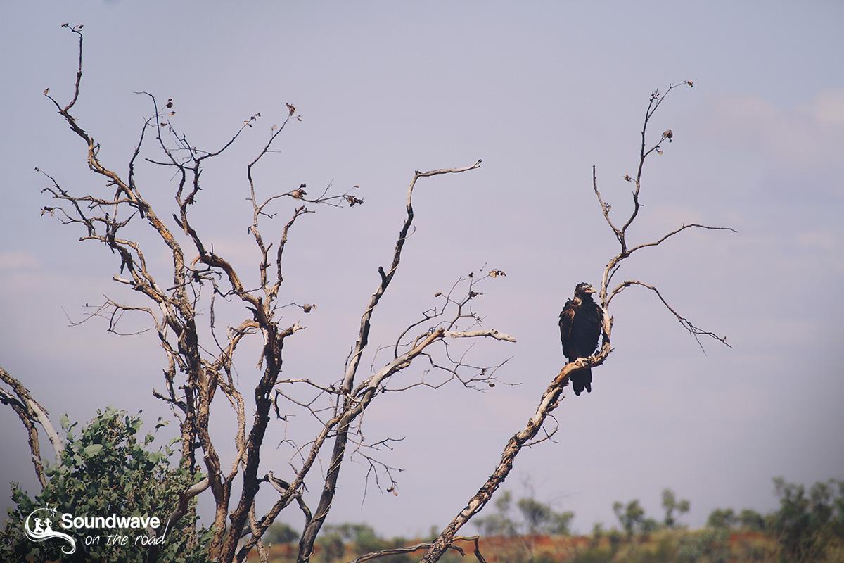 Wedge-tail eagle in WA