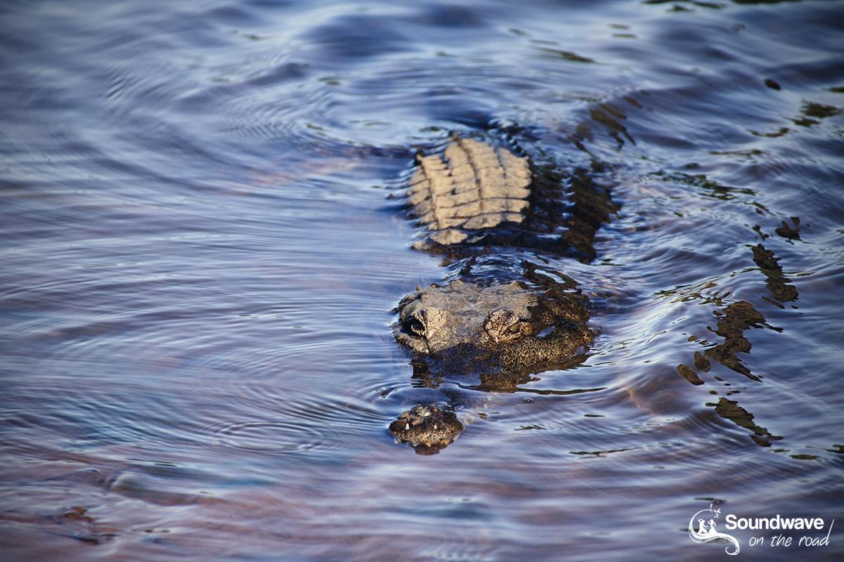 Crocodile d'eau douce en Australie