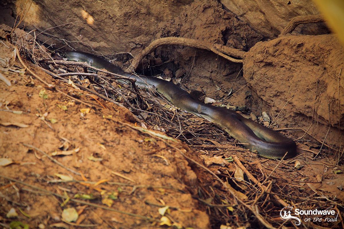 Python olive en Australie
