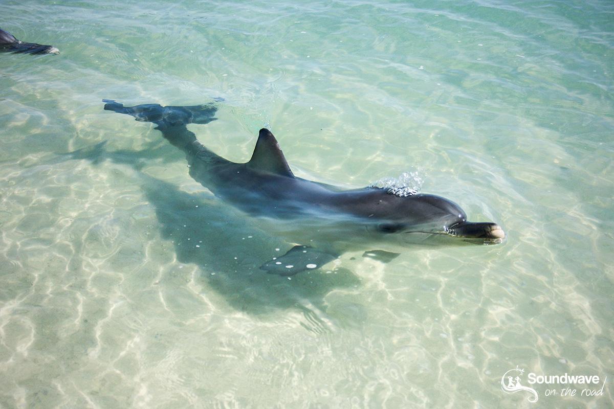 Bébé dauphin à Monkey Mia