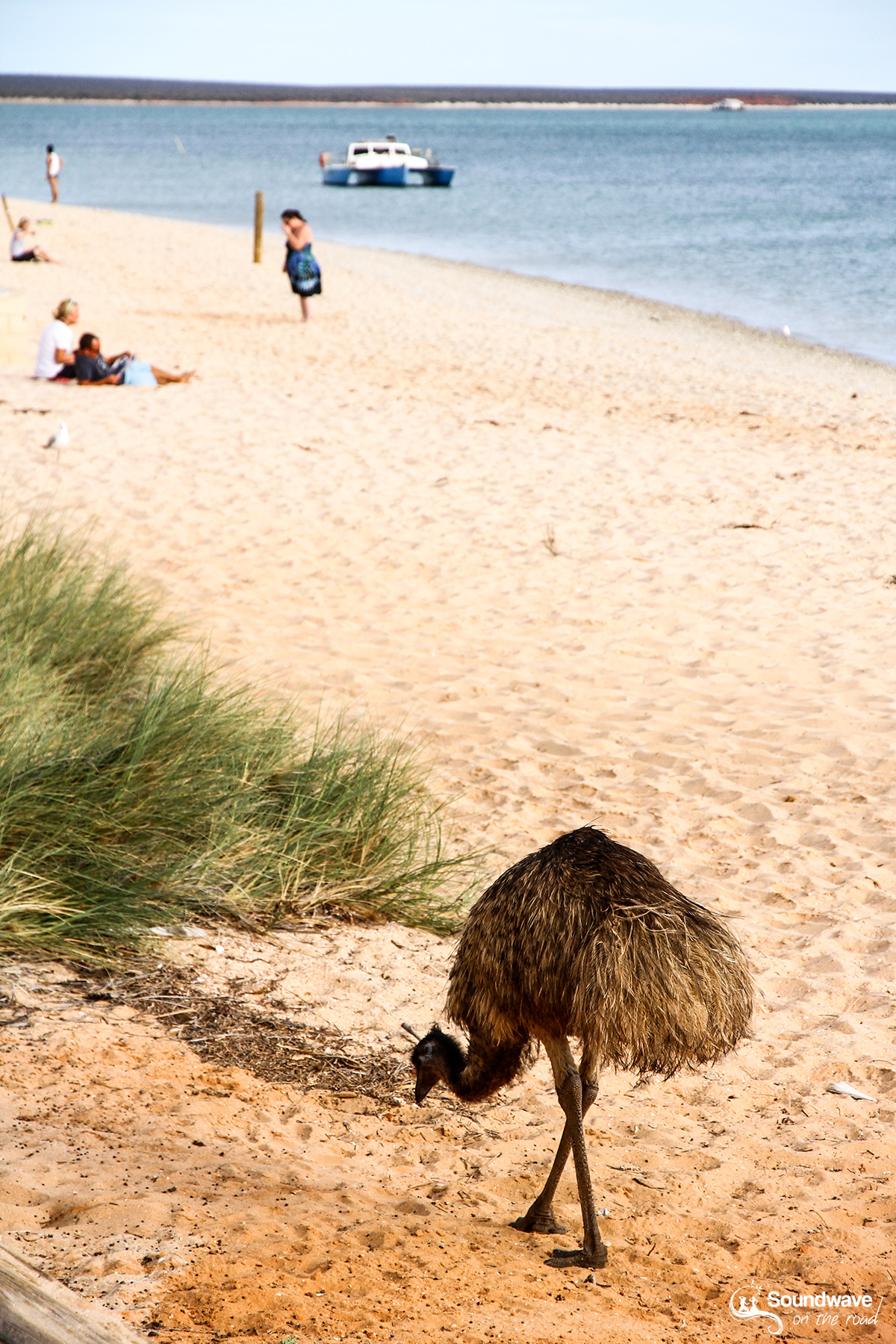 Emu in Monkey Mia, Shark Bay, Western Australia