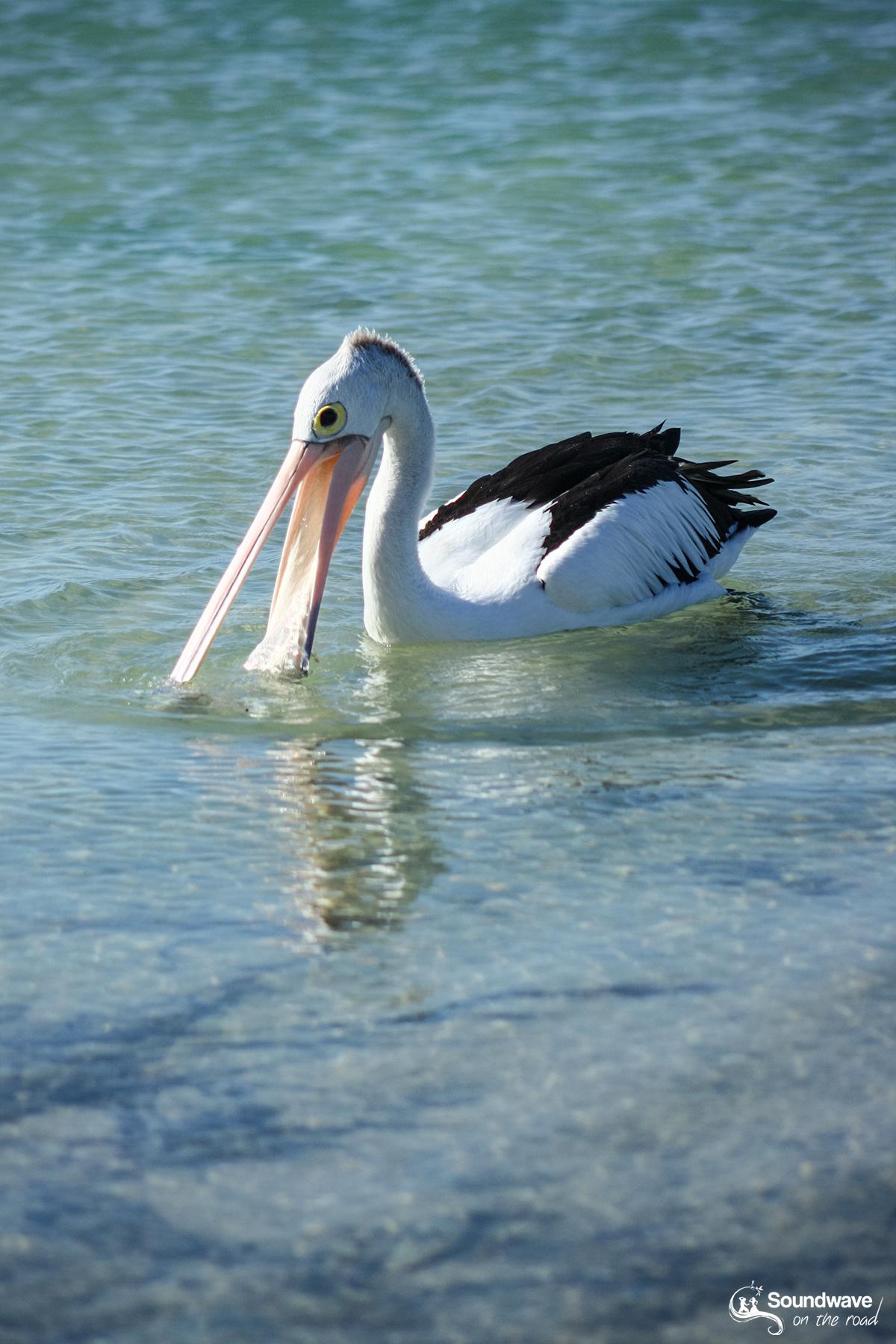Pelican in Monkey Mia, Shark Bay, Western Australia