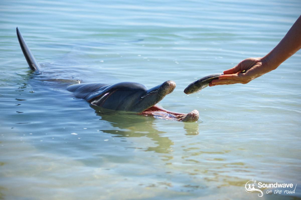 Volunteer with dolphins in Monkey Mia, Western Australia