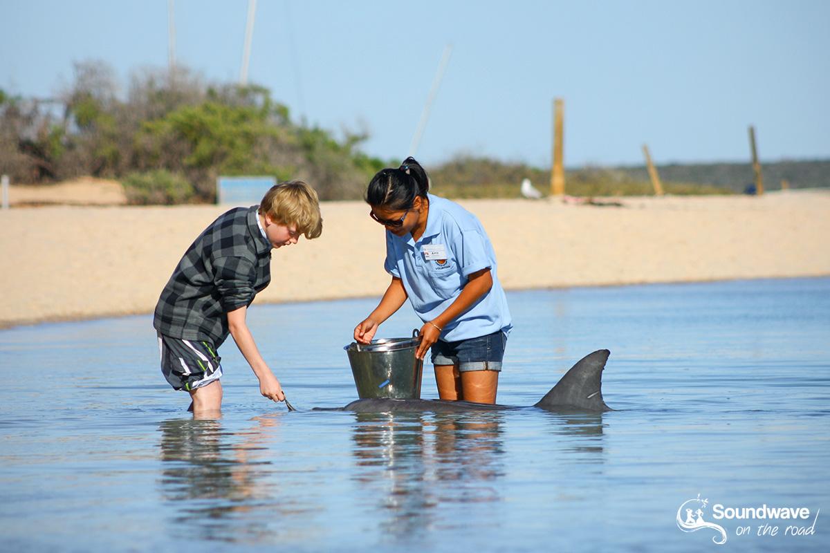 Dolphin feeding in Western Australia