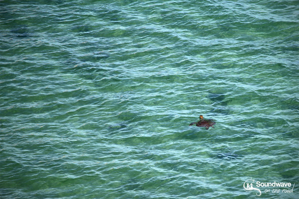 Sea turtle in the lagoon, Eagle Bluff, Shark Bay, Western Australia