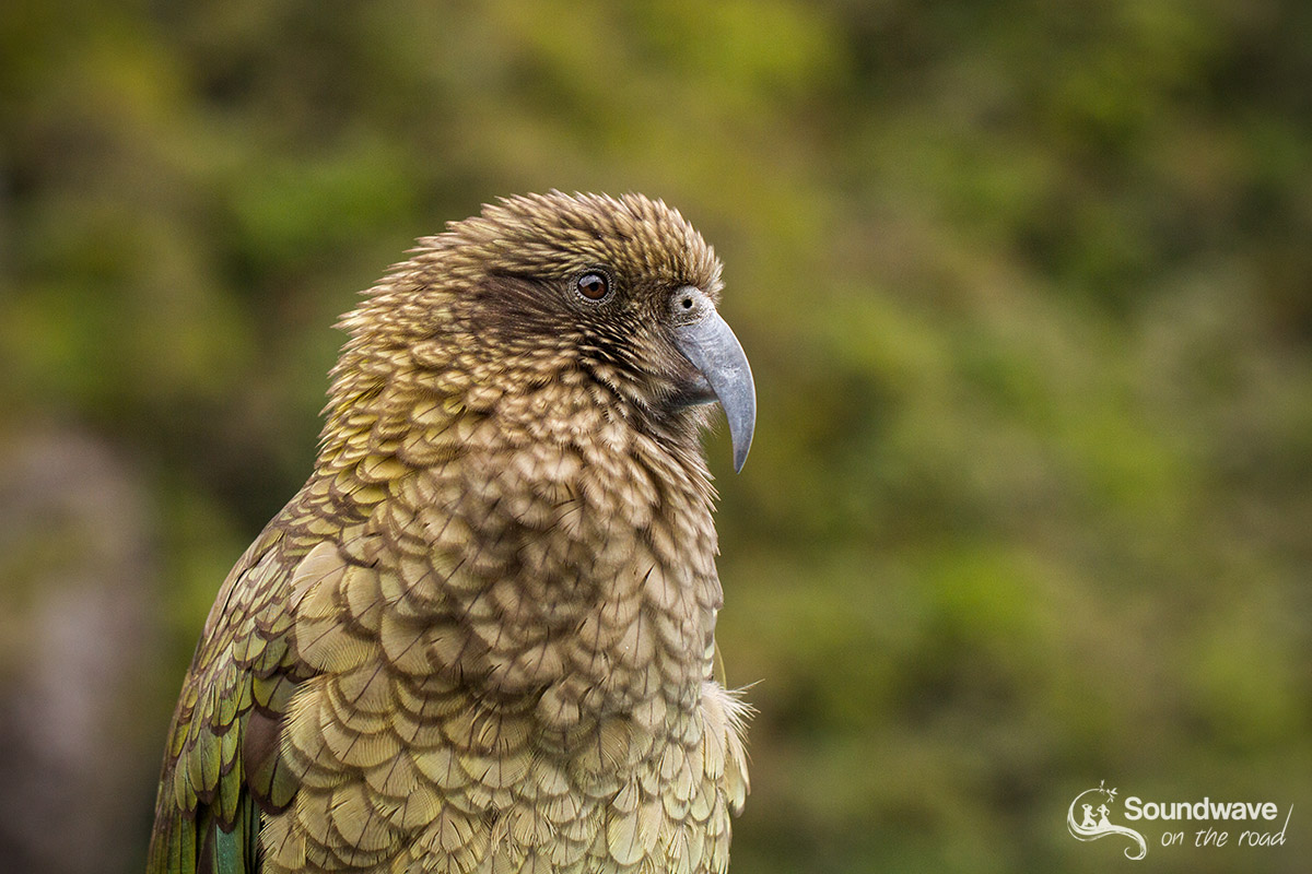Where to see the kea in New Zealand?