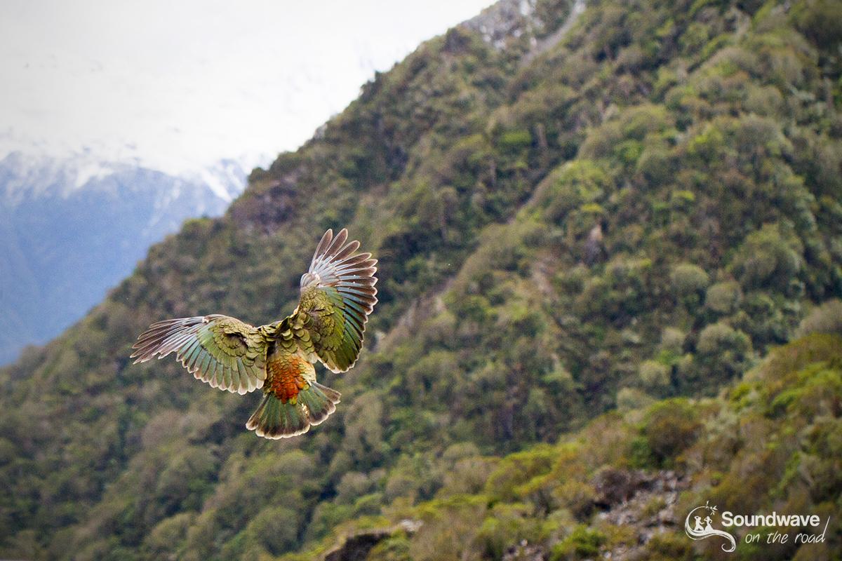 Kea flying in Arthur's Pass
