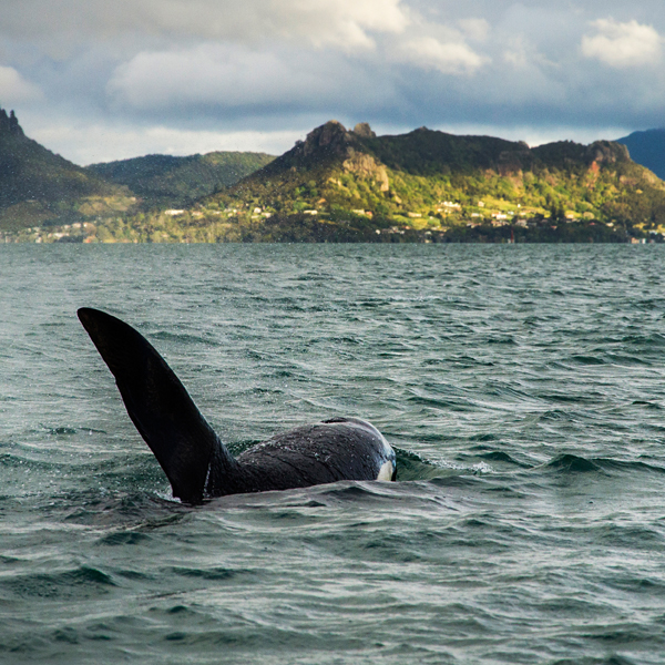 Orca in New Zealand