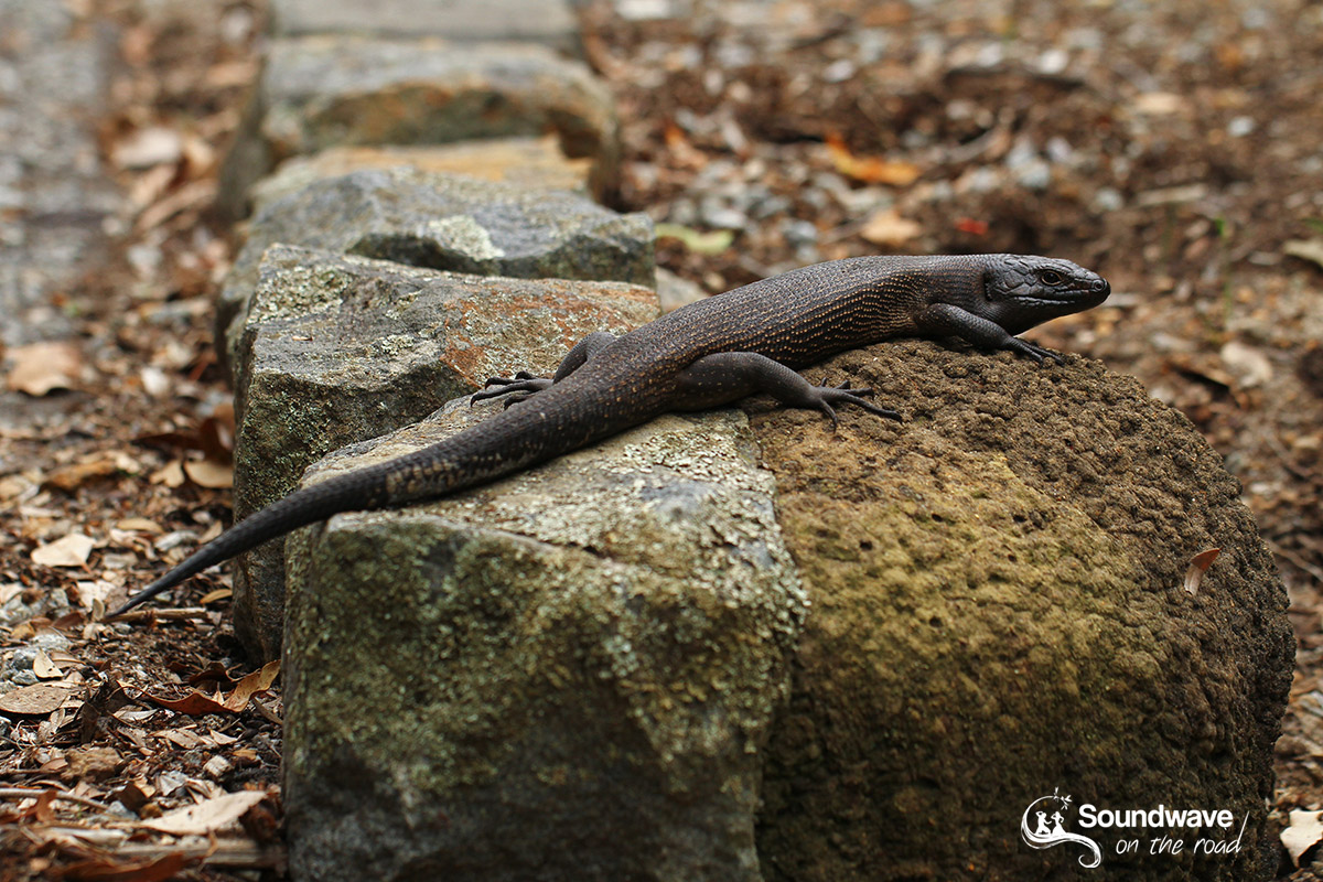 King's skink in Albany