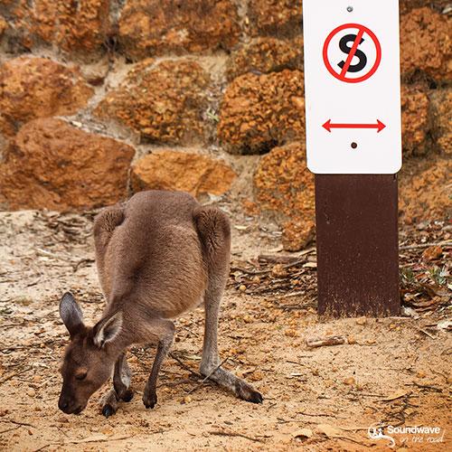 Kangaroo in Cape Le Grand National Park