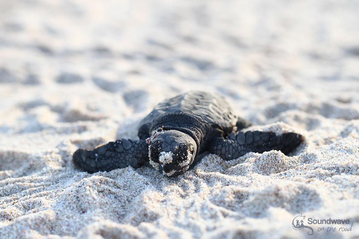 Voir des bébés tortue en Australie