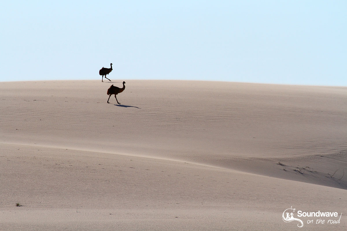 Emus on sand dune in Australia
