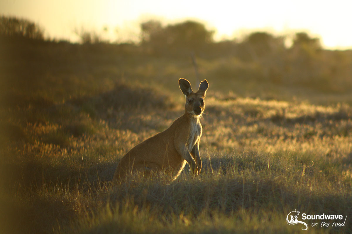 Golden hour kangaroo