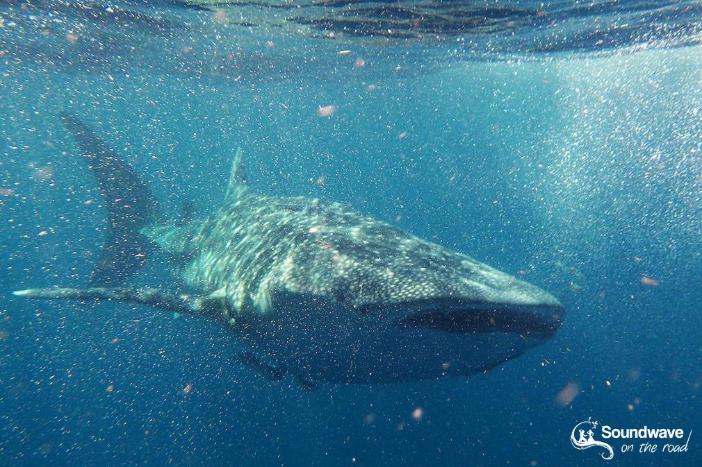 Plonger avec un requin baleine sur la Ningaloo Reef en Australie