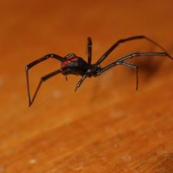 Première Rencontre Avec La Veuve Noire Australienne : La Red Back.