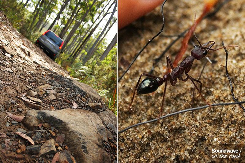 Rencontre avec une fourmi géante au détour d'une piste caillouteuse