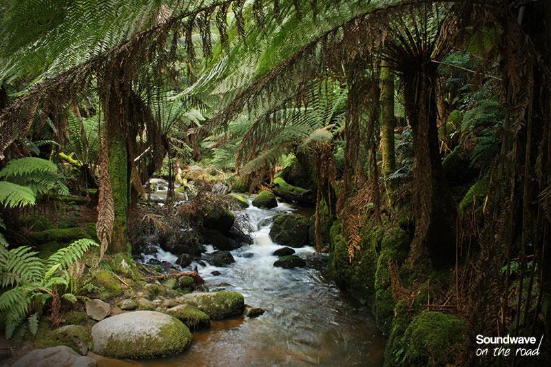 Un ruisseau sinue entre les fougères arborescentes