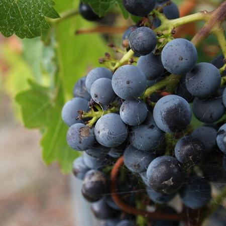 Grape De Raisin Rouge Sur Fond De Feuilles De Vignes