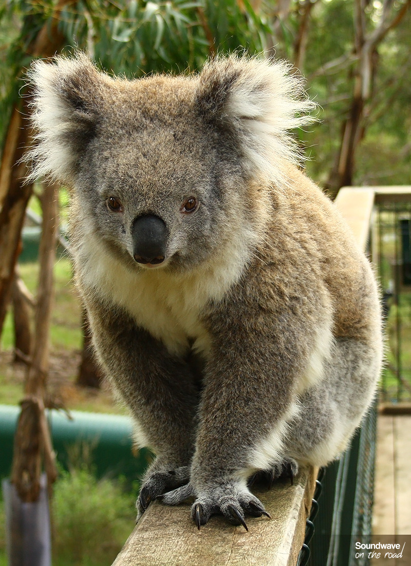 Portrait d'un koala