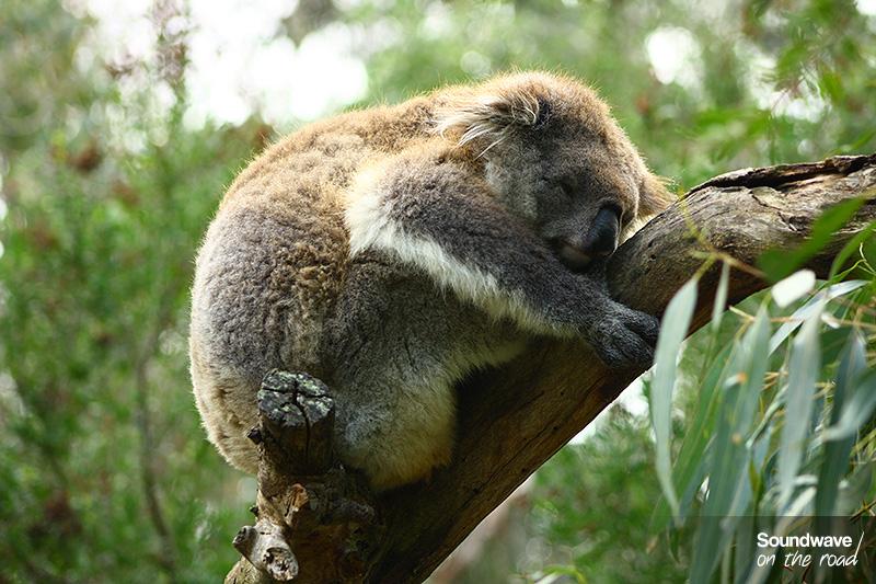 Koala endormi en boule sur un eucalyptus