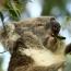 Cap Sur Phillip Island, Son Spot De Surf Et Ses Koalas