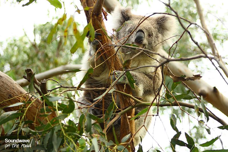 Koala sur Phillip Island