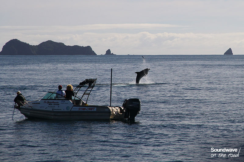 Observation d'un dauphin en Nouvelle Zélande
