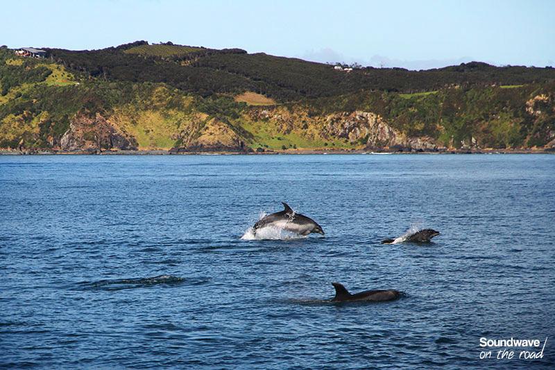 Des grands dauphins sautent dans les eaux de Nouvelle Zélande