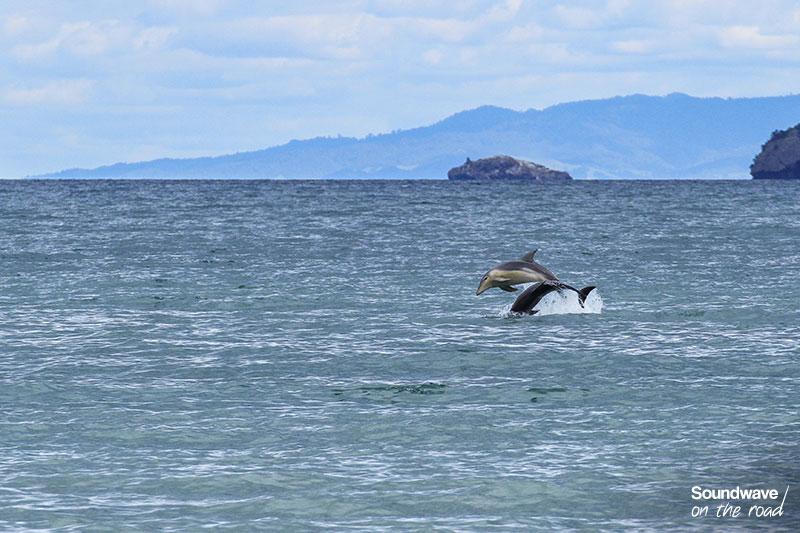 Grands dauphins aux abords de la Coromande Peninsula
