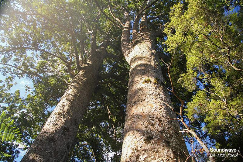Arbres endémiques de Nouvelle Zélande