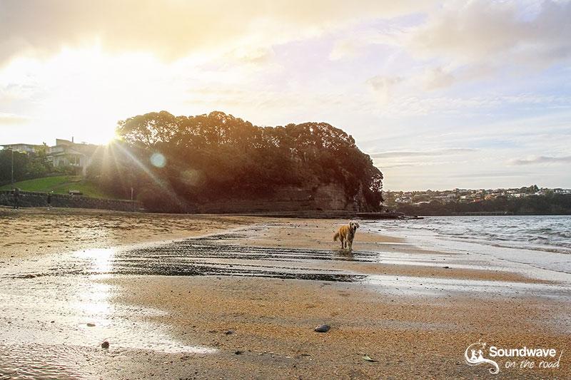 Dog walking on a beach at sunset