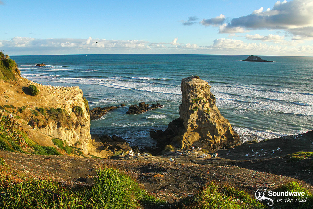 New Zealand gannet colony