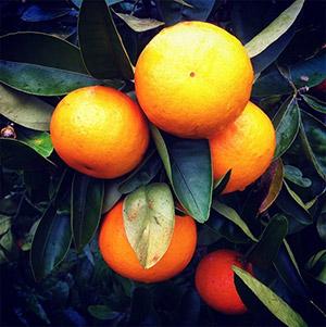 Winter fruit