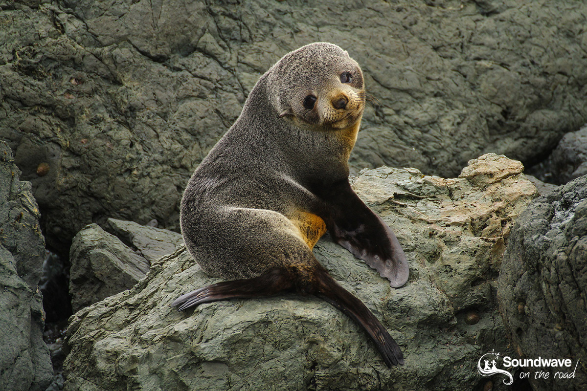 Seal pup in Cape Palliser, New Zealand