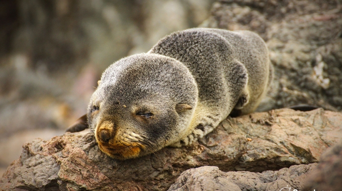 Sleepy Seal Pup