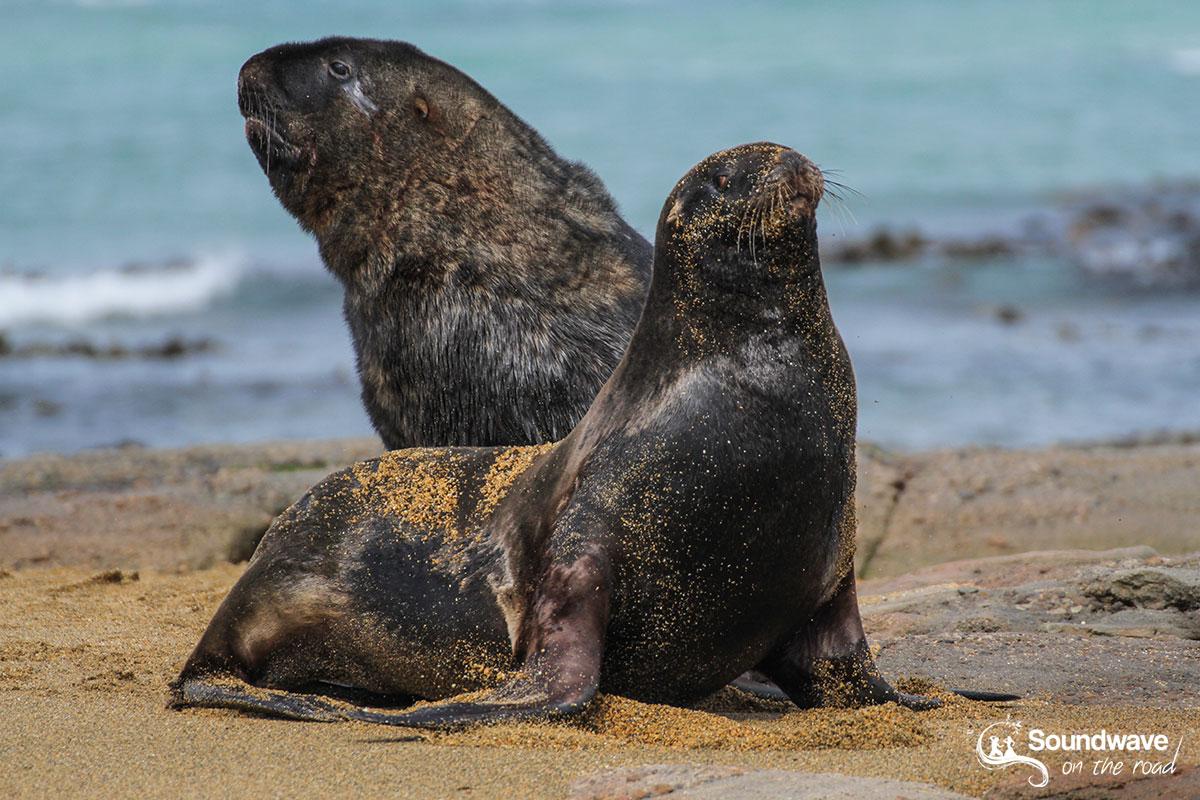 Lions de mer dans les Catlins