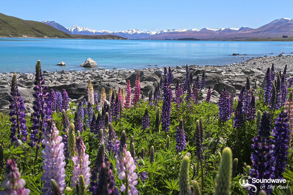 Lake Tekapo lupins, New Zealand
