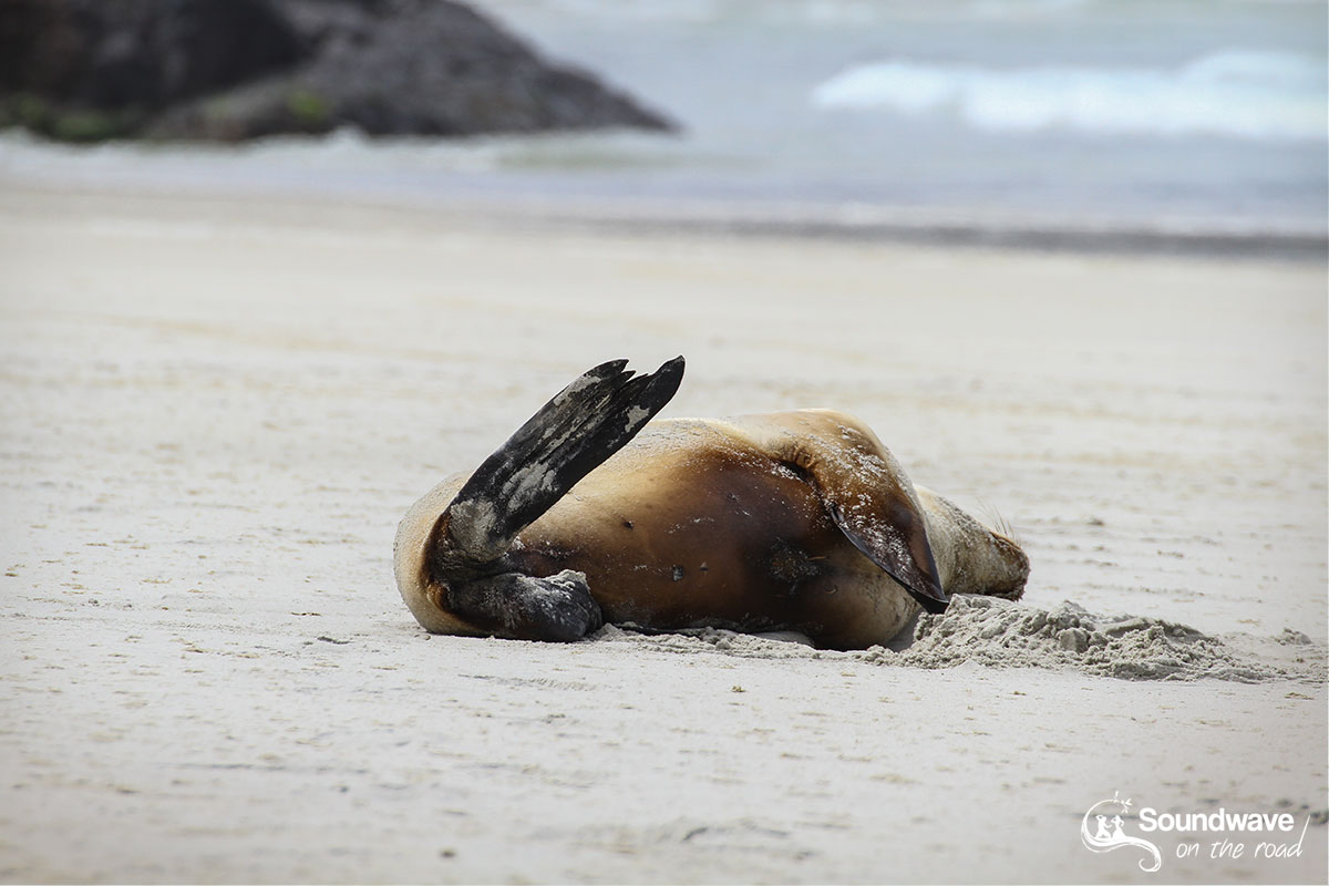 Sleeping sea lion in New Zealand