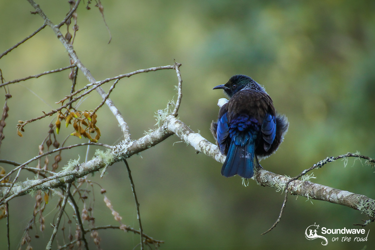 Tui, New Zealand bird