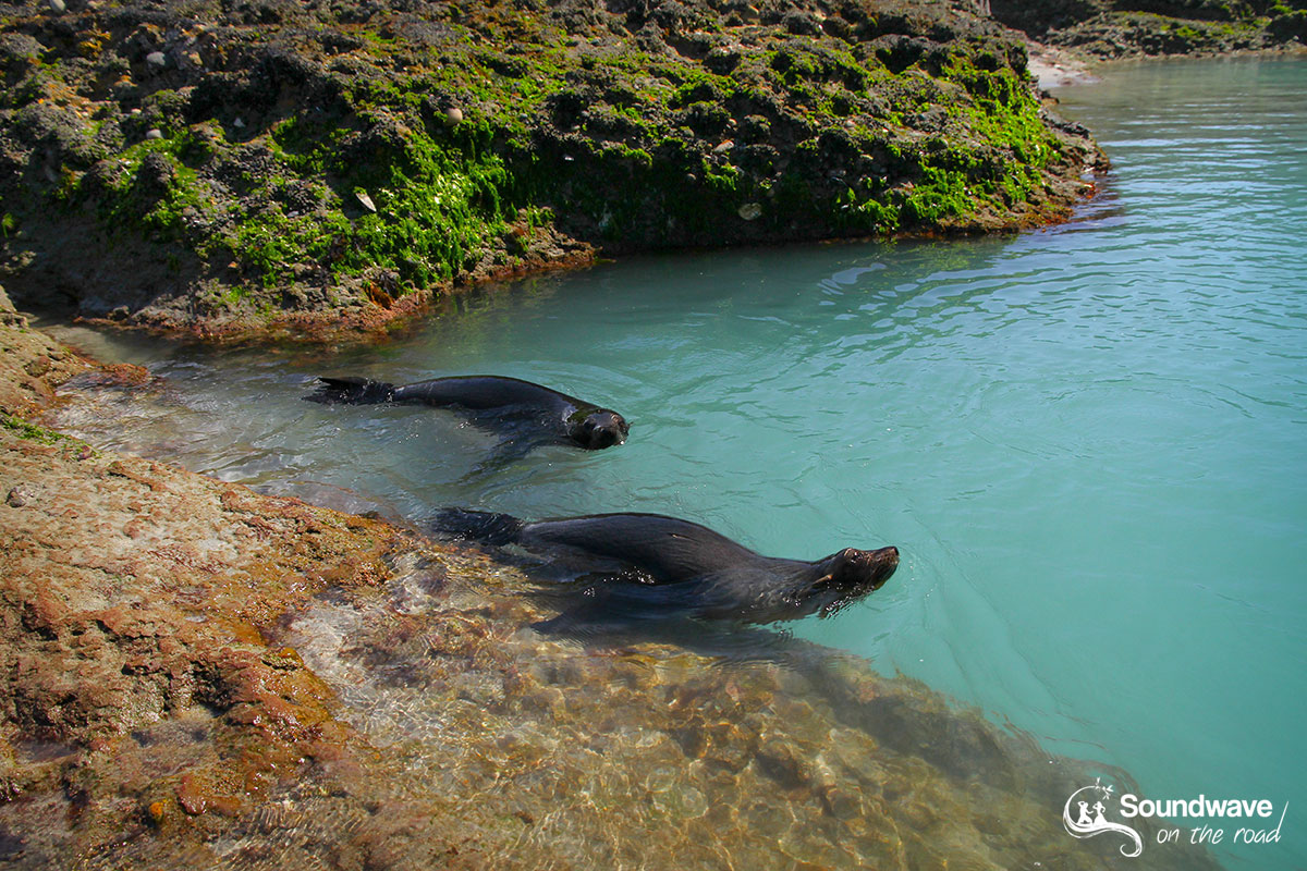 New Zealand fur seal pups playing in a pool of Wharariki Beach