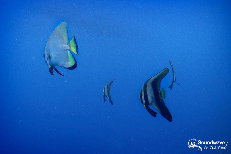 Batfish in Amed, Bali