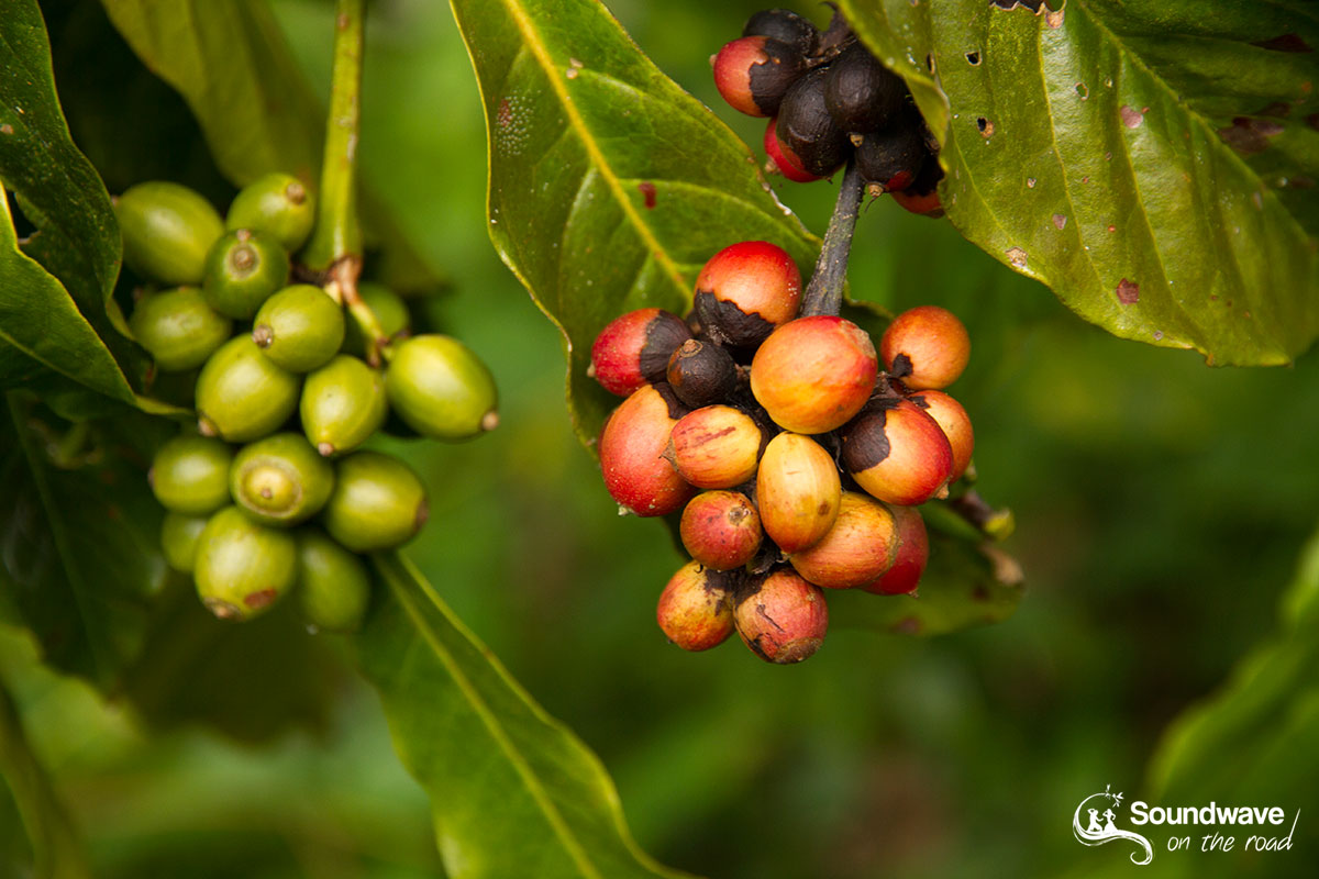 Coffee berries in Bali
