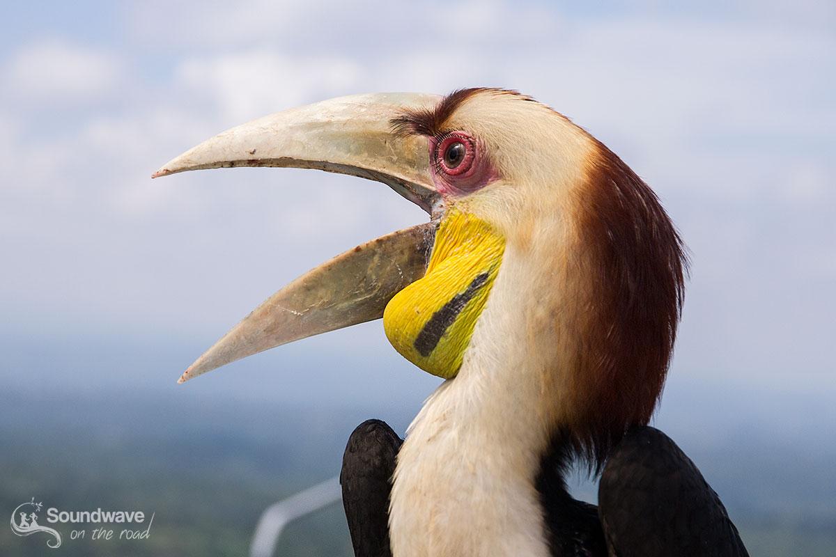 Hornbill in Bali