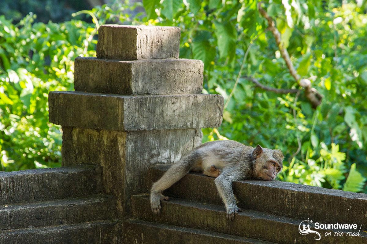 Resting monkey in Bali