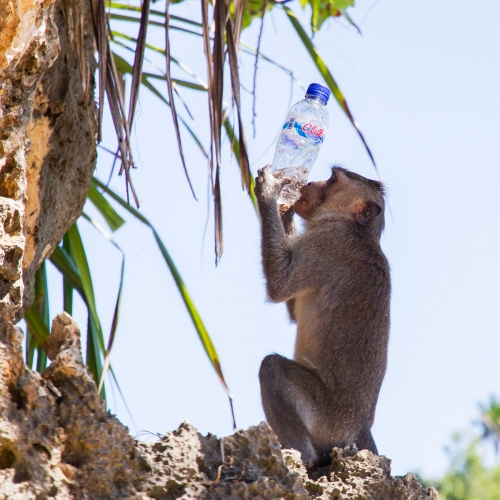 Monkey Drinking From A Water Bottle