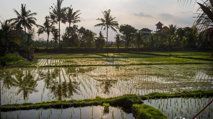 Young Rice Field In Ubud